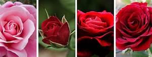Comment Faire Secher Une Rose : comment dessiner une rose crayons pinceaux ~ Melissatoandfro.com Idées de Décoration