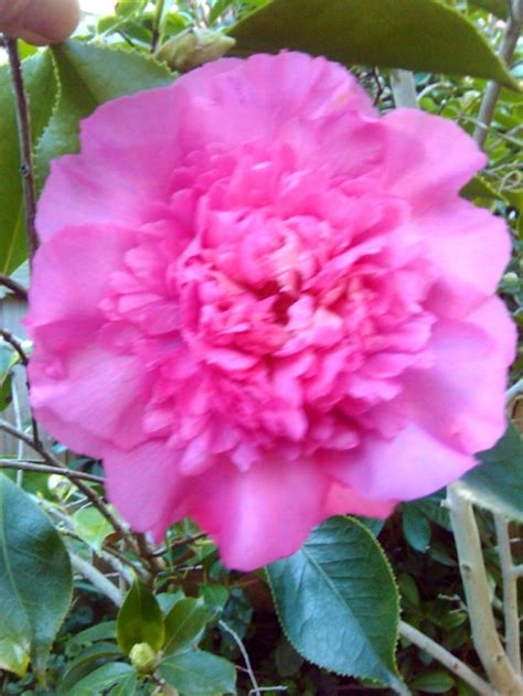 camellia flower care 67 best images about camelias on pinterest gardens yellow roses and flower