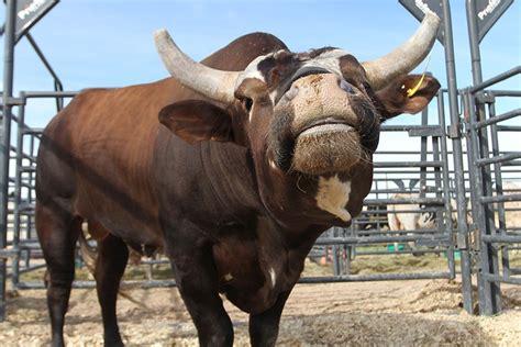 bull   lighter side   pbr bulls