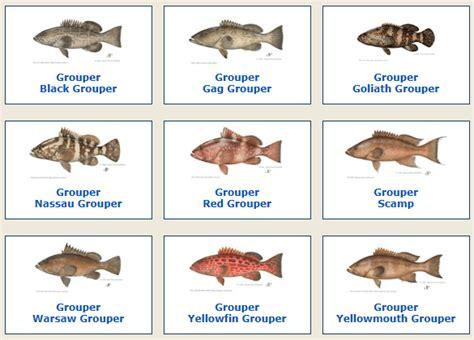 grouper species fish groupers june saltwater fishing offshore