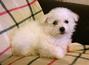 bichon frise puppies york