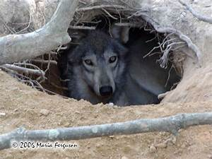 Wolf in Den Picture