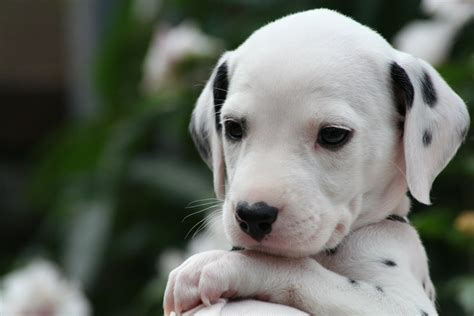 30 days dalmatian puppies for dalmatian puppy photo 12 notes pictures