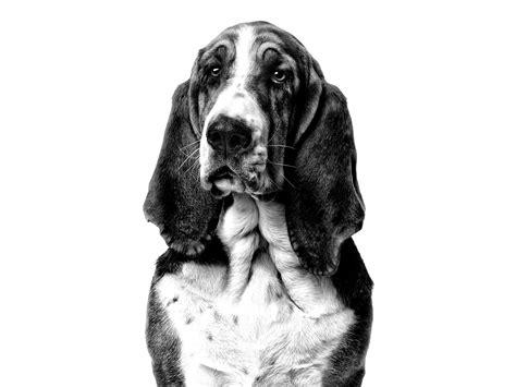 basset hound royal canin
