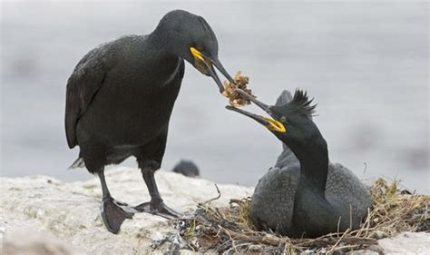 The Vanishing Shag Joins Dwindling Sightings Of Rare