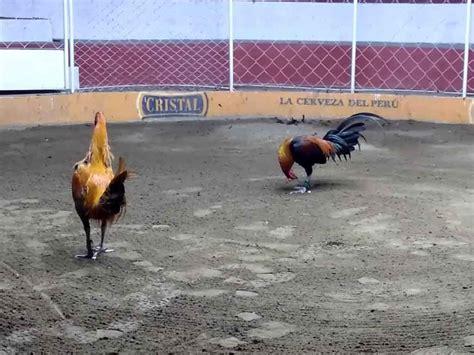 Selain itu anda juga bisa mendapatkan penghasilan lain dari permaianan taruhan online ini. Fakta Mengenai Budaya Sabung Ayam Peru - Agen Sabung Ayam Online