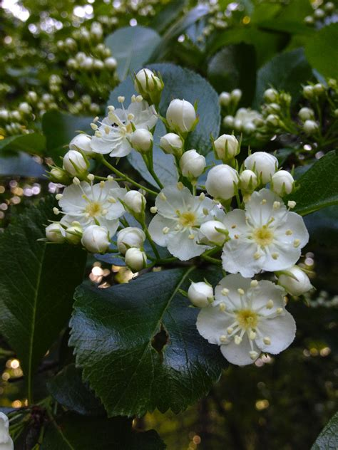 aubepine planter  bouturer ooreka