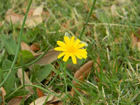 weeds with yellow flowers yellow weed flower by silverwolfie12 on deviantart