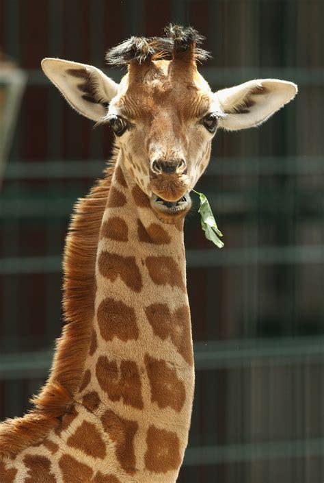 Violent Giraffe Fight Video - Violent Giraffe Fight - Zimbio