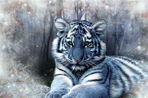 maltese tiger greeting card  sale  julie  hoddinott
