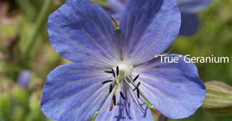 how to grow geranium geranium care how to grow and care for geranium plants