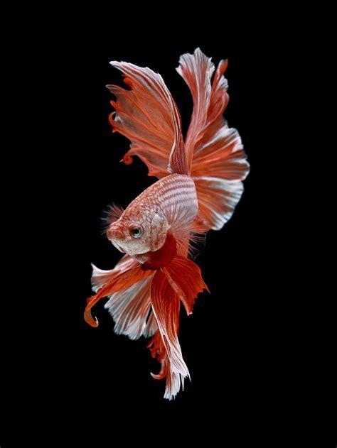 dramatic portraits  pet fish swimming  personality