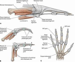 Interior   Radiocarpal Ligament S Anatomy Choice Image