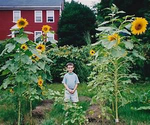 Tall Sunflower Plants Planting Giant Sunflowers