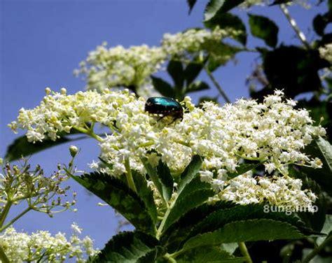 baeume und straeucher bluehen im mai und juni ihr duft