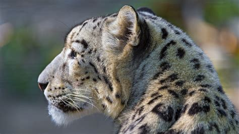 Download Snow Leopard Face Profile Hd Wallpaper For 1920 X