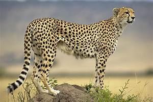 Cheetah Acinonyx Jubatus On Termite Photograph by Winfried