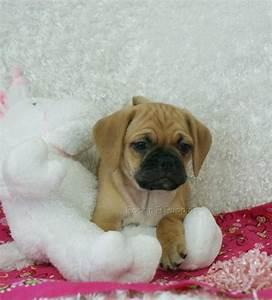 Baby Puggle: Rockin R Puppies