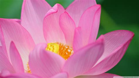 meaning of lotus flower wallpaper