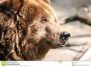 Bear profile stock photo. Image of american, woods, park ...