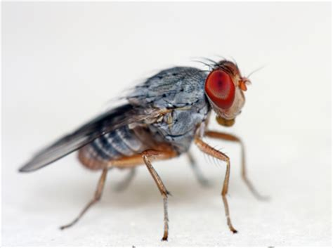 how does a house fly live common types of flies in america networx