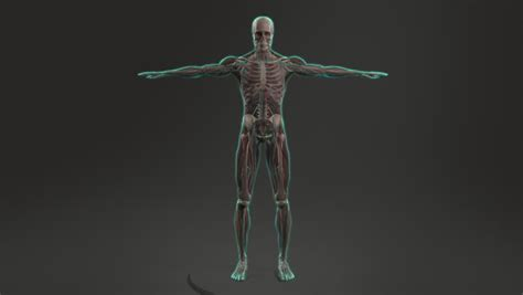 human anatomy showing full male stock footage video