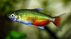 Green Fire Tetra/Aphyocharax Rathbuni (Male, females are ...