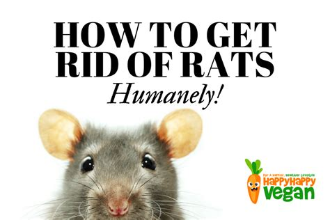 getting rid of rats how to get rid of rats humanely no kill solutions to rodent problems