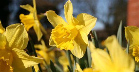 how to daffodil bulbs ehow uk