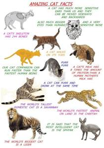 cat facts the amazing cat some cat facts for poc