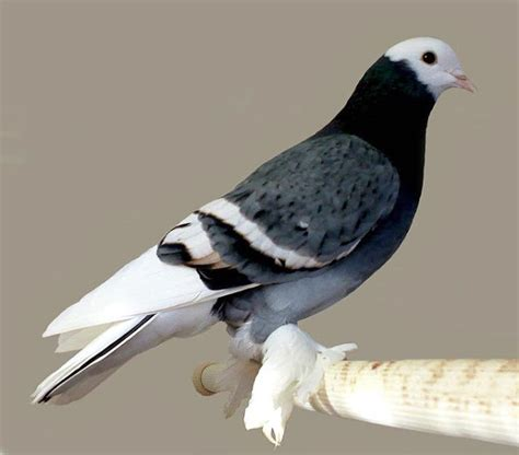 suabian pigeon pictures pigeon breeds