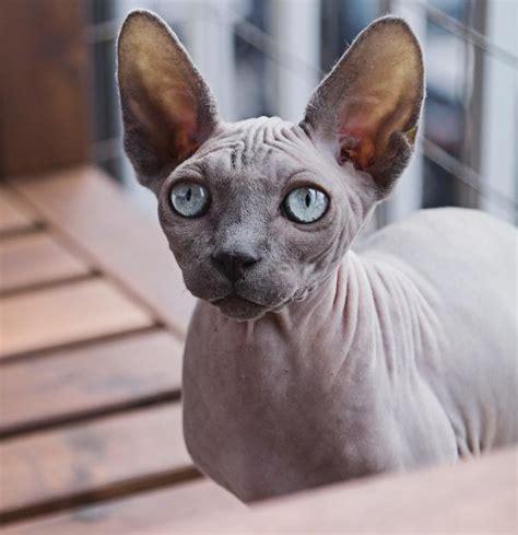 5 Hairless Cat Breeds