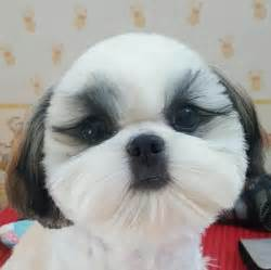 funny cut shih tzu pinterest face dog and animal