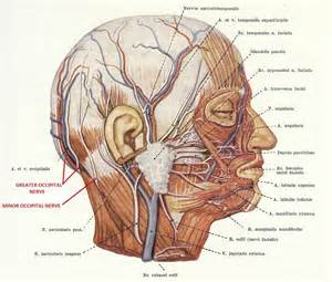 Head and Neck Nerves