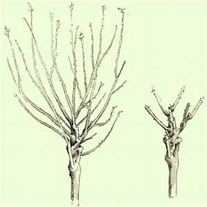 Bonsai Baum Schneiden : rosen schneiden pflanzenfreunde ~ Frokenaadalensverden.com Haus und Dekorationen