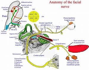 Anatomy Of Facial Nerve Diagram