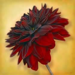 black dahlias flowers