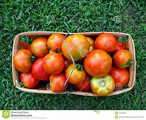 Basket Of Farm Fresh Tomatoes Royalty Free Stock Images ...