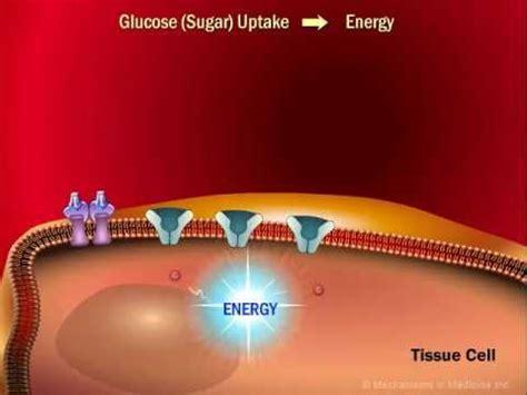 role  insulin   human body youtube