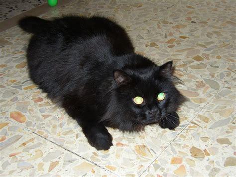 foto persiani gatti persiani c 1999