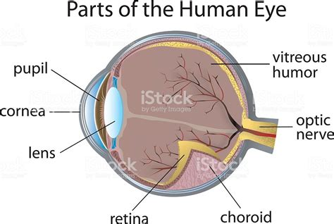 Eye Diagram To Label Kifd by Diagram Of The Human Eye With Parts Labeled Stock