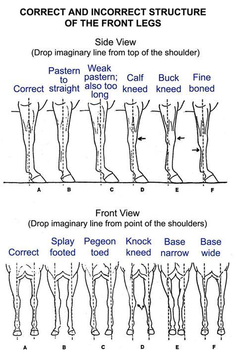 leg stance horses horses horse facts horse anatomy