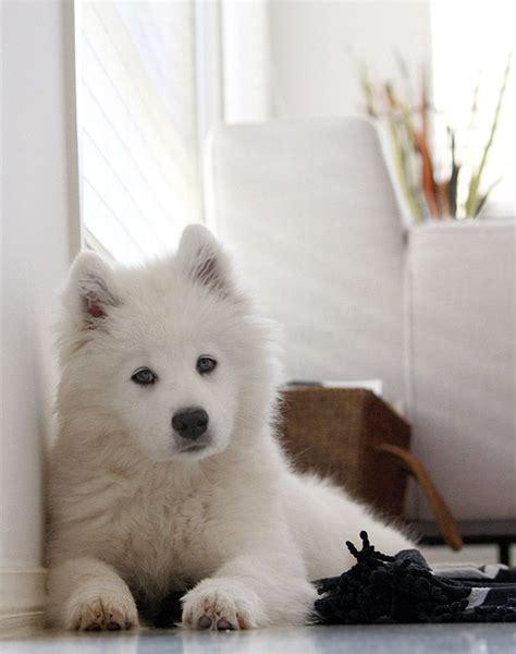 25 Bästa Samoyed Idéerna På Pinterest Samojedhund We