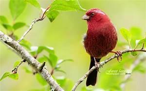 Papier Peint Papillon Oiseau : bel oiseau rouge suzaku papier peint bordeaux 1680x1050 ~ Zukunftsfamilie.com Idées de Décoration