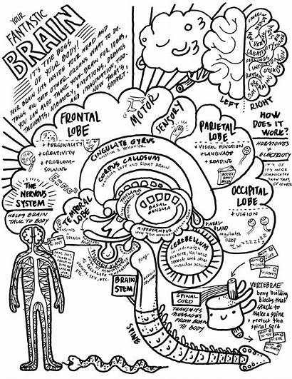 Brain Coloring Anatomy Sheet Heart Human Neuroscience