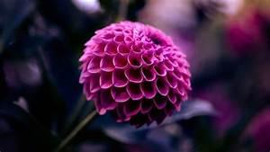 Purple Dahlia Flower HD Wallpapers