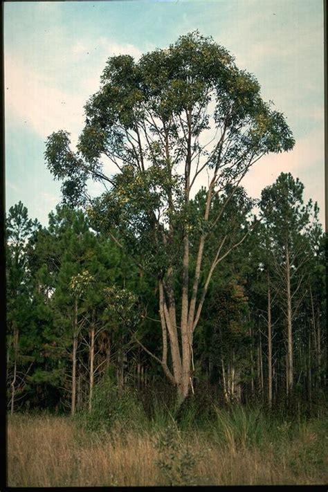 eucalyptus robusta images  tropical plants
