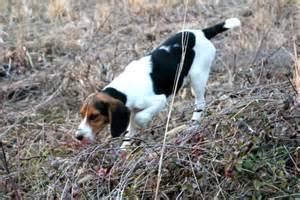Beagles Chasing Rabbits