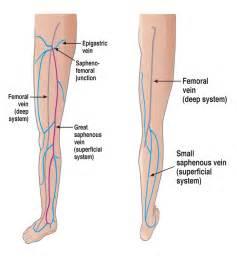 Peroneal Calf Vein Venous Anatomy