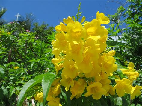 yellow elder  bahamas national flower rolling